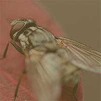 housefly-sq